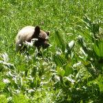 Petite mère ours à Cresent Meadow