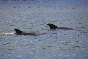 Dauphins à l'embouchure de la Palma Sola Bay